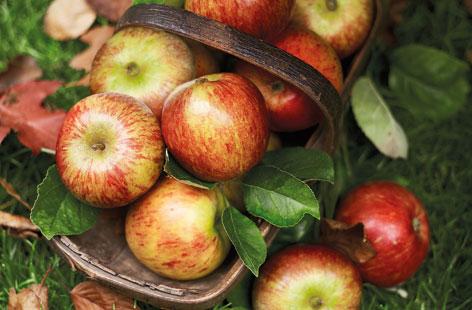 Harvest-apples-95b71644-1b09-4f78-bab5-98550a746d97-0-472x310